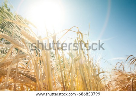Ripe yellow spikelet in field. Nature background - Shutterstock ID 686853799