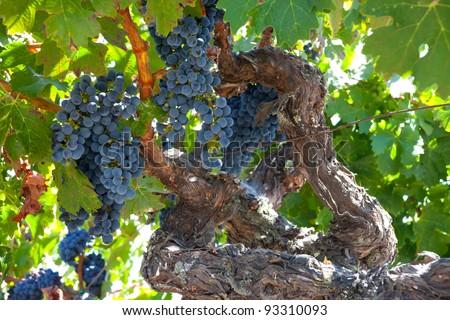 Ripe ZInfandel grape clusters ready for harvest on gnarled old grape vine.
