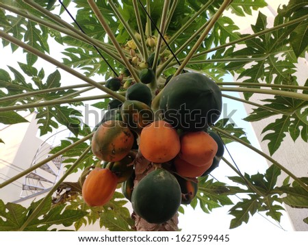 Riped and un riped papayas on tree.