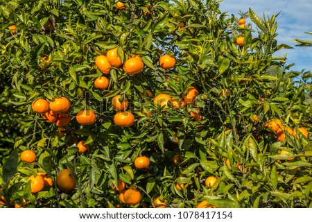 Ripen clementines on trees in a citrus cultivation #1078417154