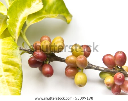 Ripen coffee beans on the branch.