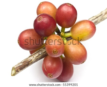Ripen coffee beans on the branch. - stock photo