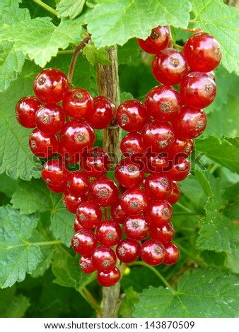 stock-photo-ripen-redcurrant-on-the-branch-143870509.jpg