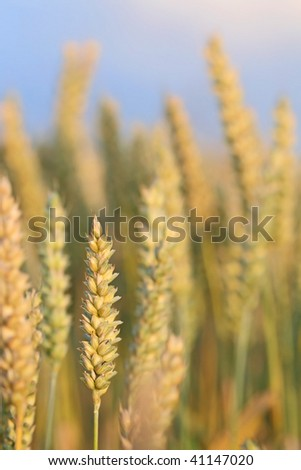 Ripened wheat ready for harvest