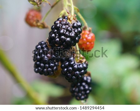 Ripening and riped blackberries growing on the branch in the summer garden in day time. Natural background, suitable for poster, postcard, greeting cards, banner.