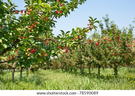 Ripening cherries on orchard tree