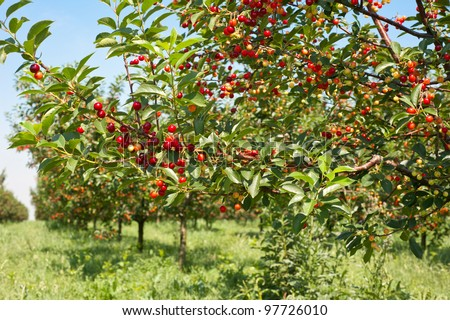 Ripening cherries on orchard trees