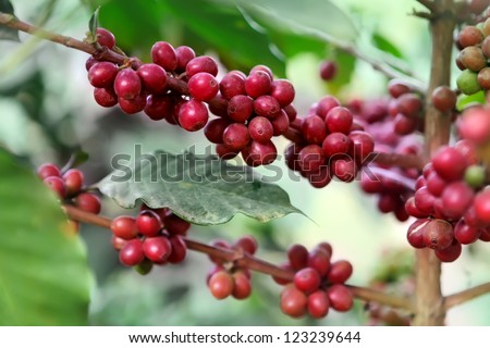 Ripening coffee beans on a tree