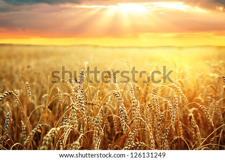 ripening ears of wheat field on the background of the setting sun #126131249