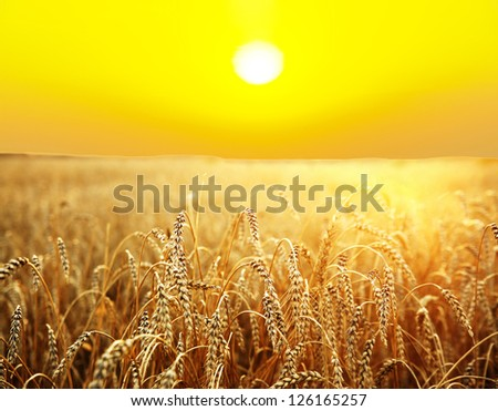ripening ears of wheat field on the background of the setting sun #126165257