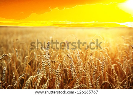 ripening ears of wheat field on the background of the setting sun #126165767