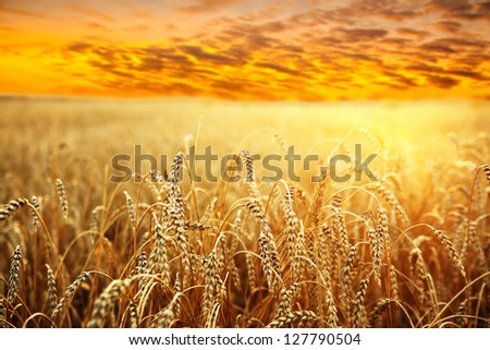 ripening ears of wheat field on the background of the setting sun #127790504