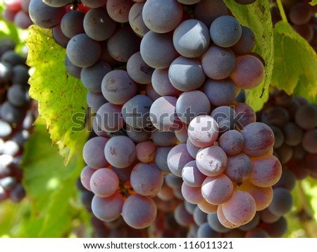 ripening grape clusters on vine