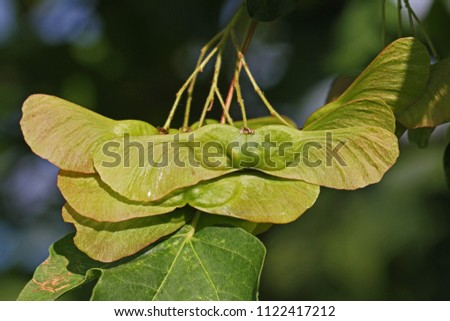 ripening maple or sycamore seed very close up Latin acer opalus or pseudoplatanus variety Italian maple with dew in springtime Italy