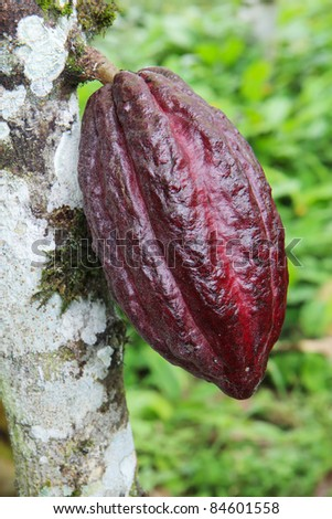 Ripening pod of Arriba cacao growing on a tree of Theobroma cacao on an organic plantation in southern Ecuador. Arriba cacao is native to Ecuador and produces the best tasting chocolate in the world.