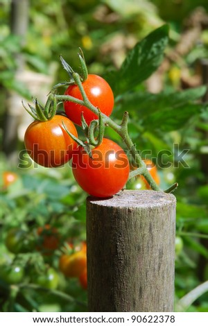 Ripening red and green tomatoes on the vine - stock photo