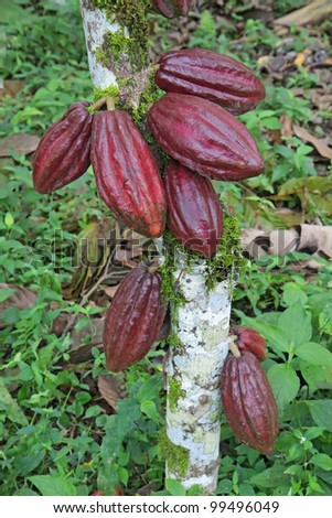 Ripening red pods of Arriba cacao growing on a tree of Theobroma cacao on an organic plantation in southern Ecuador