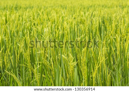 Ripening rice in a paddy field close up