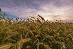 Ripening rye ears silhouettes on field in front of sunset sky. June background.