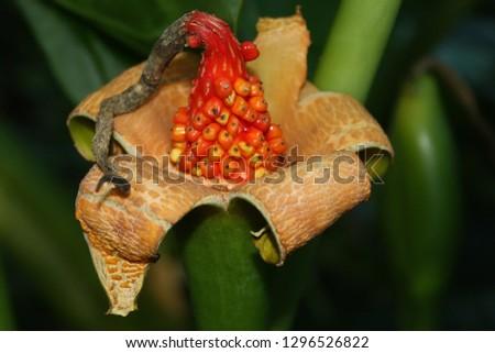 Ripening seeds of Alocasia macrorrhiza, Elephant's ear plant. #1296526822