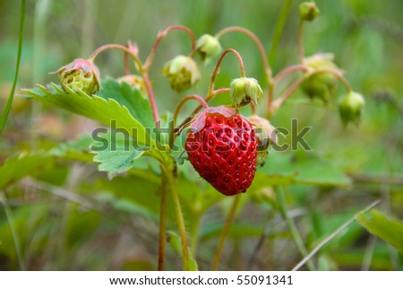 Ripening strawberry fruits on the branch