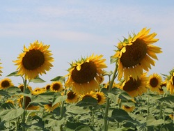 ripening sunflower heads in a farm field, close-up of several sunflower inflorescences against a blue sky, growing a vegetable crop in the open air