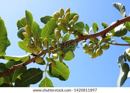 Ripening the fruit of the pistachio tree. Pistachio tree branch full of pistachio nuts #1420811897