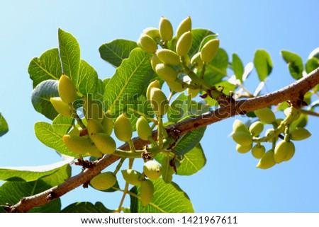 Ripening the fruit of the pistachio tree. Pistachio tree branch full of pistachio nuts #1421967611