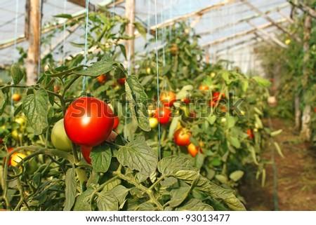 Ripening tomatoes hanging in the seasonal film greenhouse