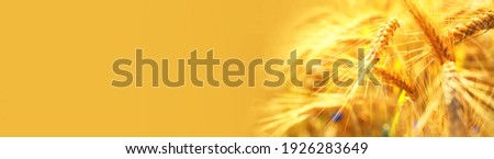 Ripening yellow ears of wheat with shallow depth of field in field. Panoramic yellow banner with ears of corn in right corner of the frame. Rural landscape of a ripening harvest at sunset