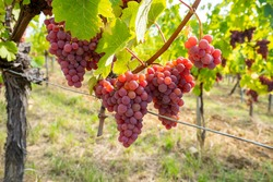 Riping Gewurztraminer grapes in Alsace France. Furstentum Vineyard with gewurztraminer near Kientzheim and Kaysersberg