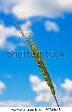 Ripping wheat ear on a background of cloudy sky