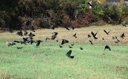 Rising jackdaws auk a stubble field