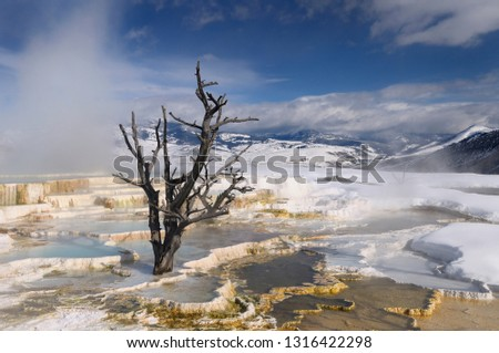 Rising steam and dead tree and at travertine pools with snow at the Main Terrace at Mammoth Hot Springs Yellowstone Park in winter