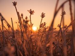 Rising Sun and Frozen Grass