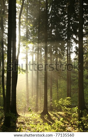 Rising sun enters the coniferous forest on a foggy spring day.