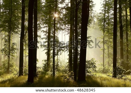 Rising sun falls into a misty forest with majestic oak trees. Photo taken in May. - stock photo