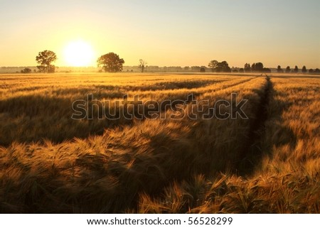 Rising sun illuminates the field of grain in a cloudless summer day.