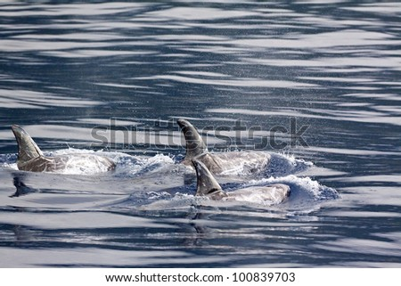 Risso Dolphins group