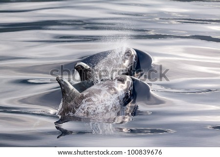 Risso Dolphins scars - stock photo