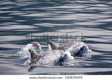 Risso Dolphins water - stock photo