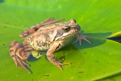 River and stream frogs (true frogs). Frog Rana  sitting on water-lily leaf on the river. Spawn of devil, terraqueous
