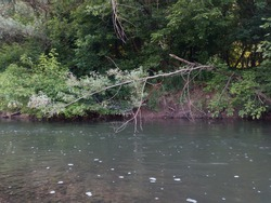 River bank overgrown with young trees, fluvial erosion of bank, water wash soil from roots, natural process