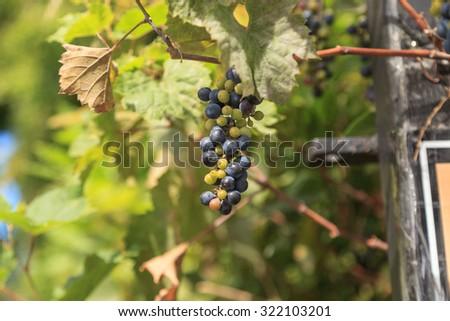 River bank wild grape, Vitis riparia, vine growing green grapes in summer