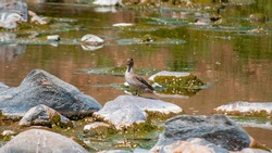 river birds on water and rocks in a little overgrown river with drought that gushes from the mountains and is supported by rocks