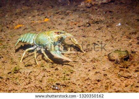 River cancer on the sandy bottom. Stock foto ©