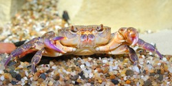 River crab Potamon sp. in aquarium. Purple morph. Zoology, carcinology, environmental protection in Italy. Science, education, graphic resources