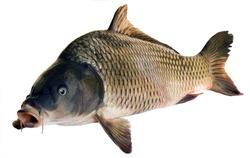 River fish big carp isolated on white background