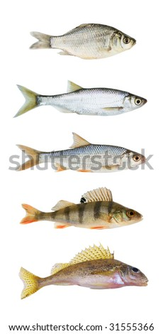 River fish collection isolated on white