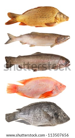 River fish collection isolated on white background